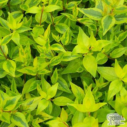 Buy Abelia x grandiflora Kaleidoscope (Abelia) online from Jacksons Nurseries