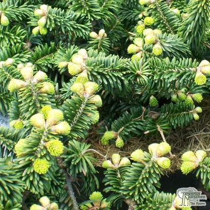 Buy Abies balsamea Nana online from Jacksons Nurseries