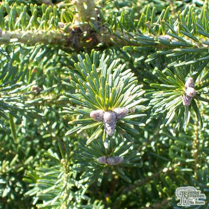 Buy Abies koreana online from Jacksons Nurseries