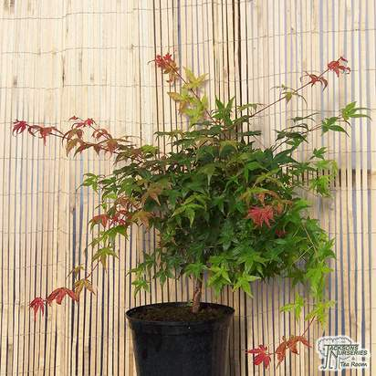 Buy Acer palmatum Beni Maiko (Japanese Maple) online from Jacksons Nurseries