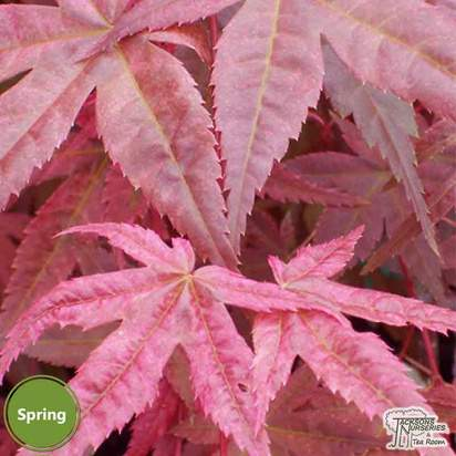Buy Acer palmatum Beni Maiko (Japanese Maple) online from Jacksons Nurseries