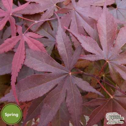 Buy Acer palmatum Bloodgood (Japanese Maple) online from Jacksons Nurseries