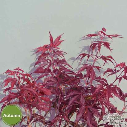 Buy Acer palmatum Burgundy Lace (Japanese Maple) online from Jacksons Nurseries