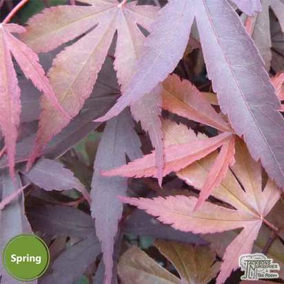 Buy Japanese Maples And Acer Trees Quality Garden Plants From