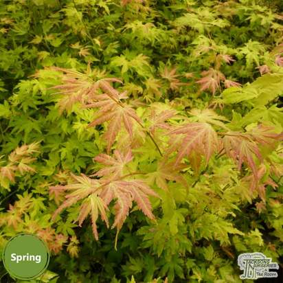 Buy Acer palmatum Orange Dream (Japanese Maple) online from Jacksons Nurseries