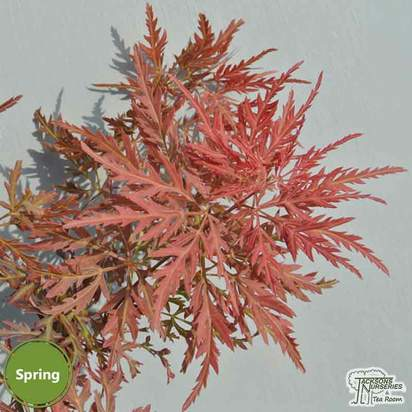 Buy Acer palmatum dissectum Garnet (Japanese Maple) online from Jacksons Nurseries