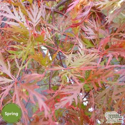 Buy Acer palmatum dissectum Orangeola (Japanese Maple) online from Jacksons Nurseries