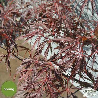 Buy Acer palmatum dissectum Tamuke yama (Japanese Maple) online from Jacksons Nurseries