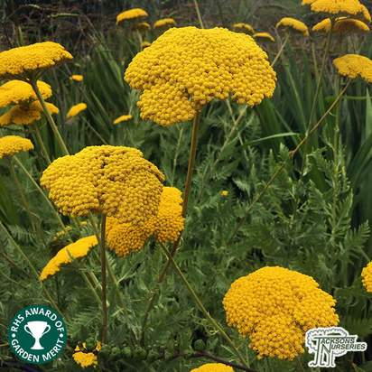 Buy Achillea filipendulina 'Cloth of Gold' (Yarrow) online from Jacksons Nurseries