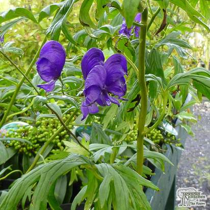 Buy Aconitum carmichaelii arendsii (Monkshood) online from Jacksons Nurseries