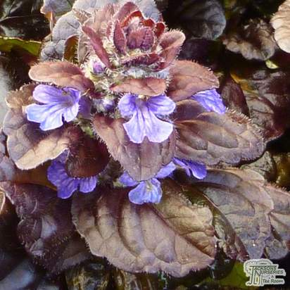 Buy Ajuga reptans Black Scallop (Carpet Bugle) online from Jacksons Nurseries