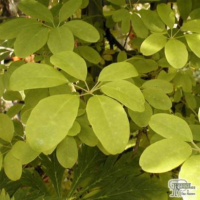 Buy Akebia quinata online from Jacksons Nurseries