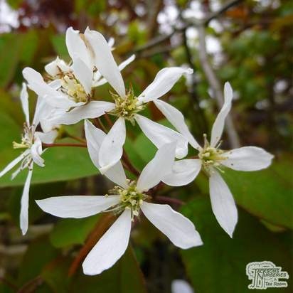 Buy Amelanchier lamarckii (Shrub) (Snowy Mespilus) online from Jacksons Nurseries