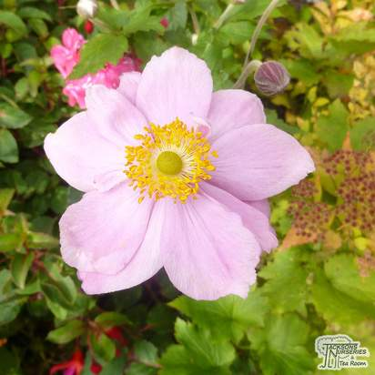 Buy Anemone x hybrida Königin Charlotte (Japanese Anemone) online from Jacksons Nurseries