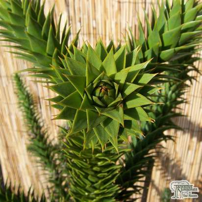 Buy Araucaria araucana (Monkey Puzzle Tree) online from Jacksons Nurseries