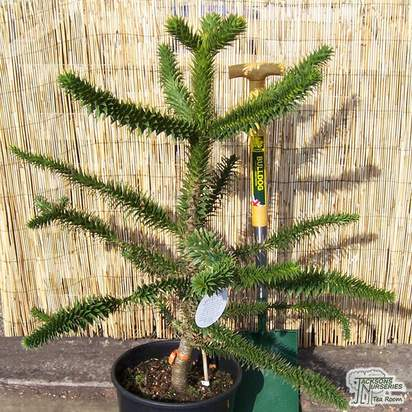 Buy Araucaria araucana online from Jacksons Nurseries