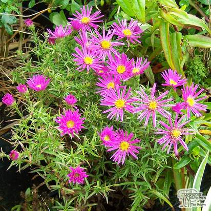 Buy Aster Alice Haslam (Michaelmas Daisy) online from Jacksons Nurseries