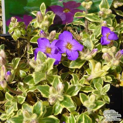 Buy Aubrieta Argenteovariegata (Aubretia) online from Jacksons Nurseries