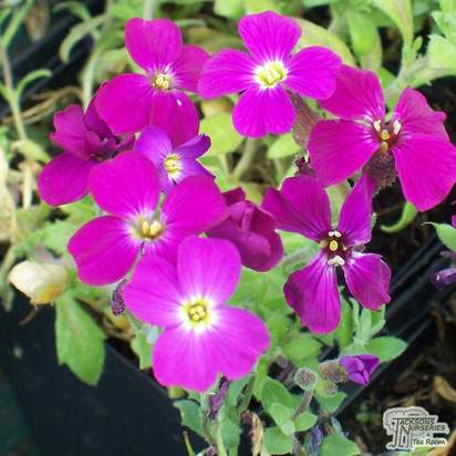 Buy Aubrieta Red Cascade (Aubretia) online from Jacksons Nurseries