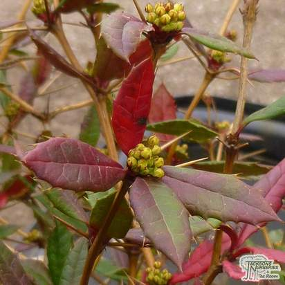 Buy Berberis julianae (Barberry) online from Jacksons Nurseries