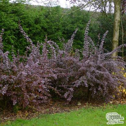 Buy Berberis x ottawensis f. purpurea Superba (Barberry) online from Jacksons Nurseries