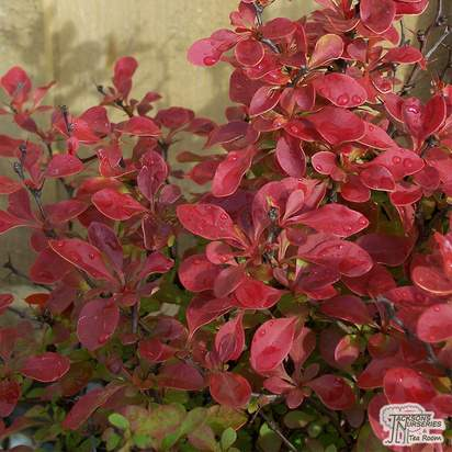 Buy Berberis thunbergii f. atropurpurea Admiration (Barberry) online from Jacksons Nurseries