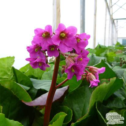 Buy Bergenia cordifolia (Elephant's Ears) online from Jacksons Nurseries