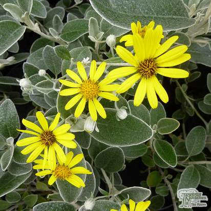 Buy Brachyglottis Sunshine (Senecio Sunshine) online from Jacksons Nurseries