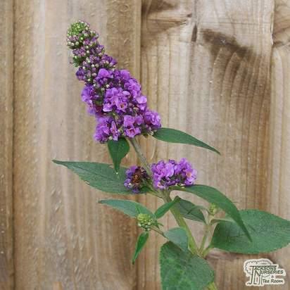 Buy Buddleja davidii Blue Chip (Dwarf Butterfly Bush) online from Jacksons Nurseries