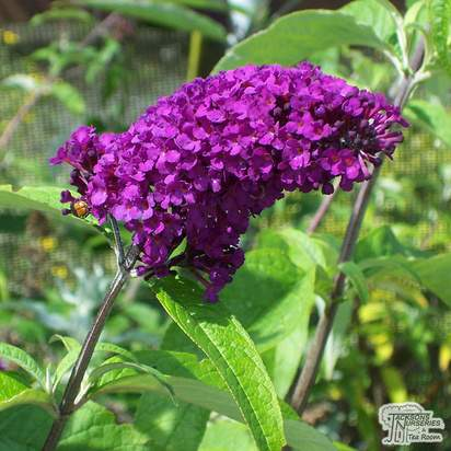 Buy Buddleja davidii Royal Red (Butterfly Bush) online from Jacksons Nurseries