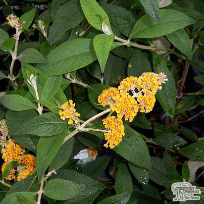 Buy Buddleja x weyeriana Sungold (Butterfly Bush (Buddleja)) online from Jacksons Nurseries