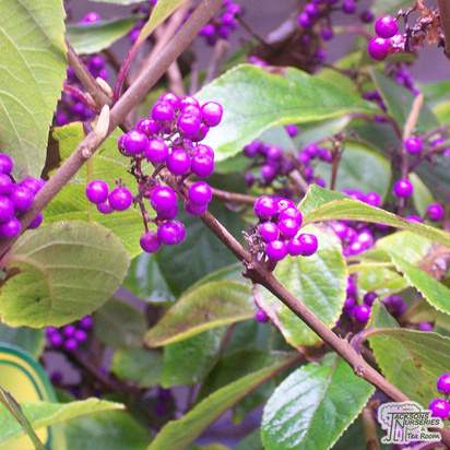 Buy Callicarpa bodinieri Giraldii 'Profusion' (Beauty Berry) online from Jacksons Nurseries
