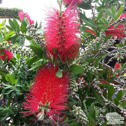 Buy Callistemon Red Clusters (Bottlebrush) online from Jacksons Nurseries
