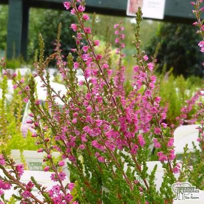 Buy Calluna vulgaris Amethyst (Scots Heather) online from Jacksons Nurseries
