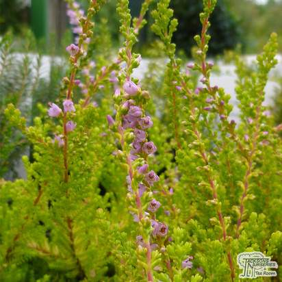 Buy Calluna vulgaris Aurea (Scots Heather) online from Jacksons Nurseries