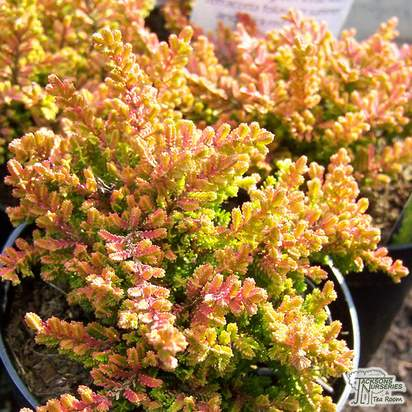 Buy Calluna vulgaris Firefly (Scots Heather) online from Jacksons Nurseries