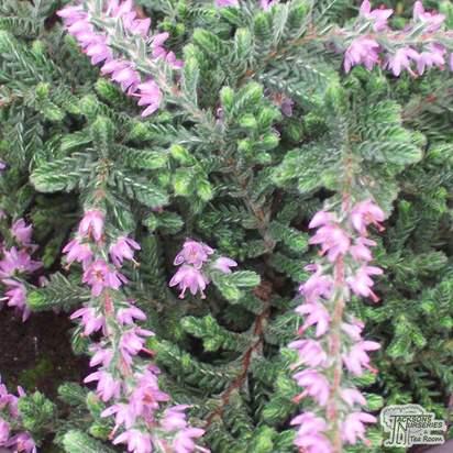 Buy Calluna vulgaris Silver Queen (Scots Heather) online from Jacksons Nurseries