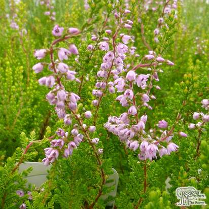 Buy Calluna vulgaris Spring Torch (Scots Heather) online from Jacksons Nurseries