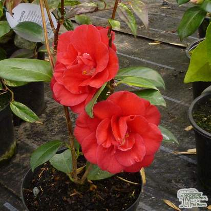 Buy Camellia japonica Adolphe Audusson (Camellia) online from Jacksons Nurseries