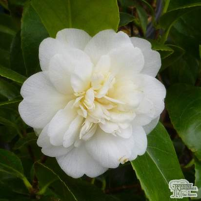 Buy Camellia japonica Nobilissima (Camellia) online from Jacksons Nurseries