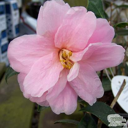 Buy Camellia x williamsii Donation (Camellia) online from Jacksons Nurseries