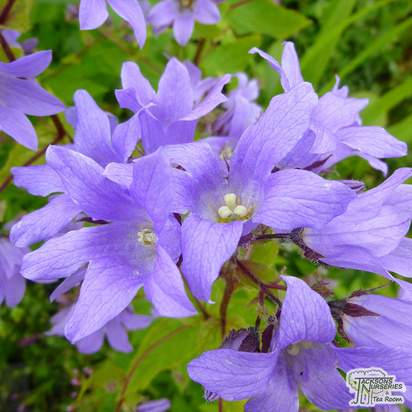 Buy Campanula lactiflora Pritchards Variety (Milky Bellflower) online from Jacksons Nurseries