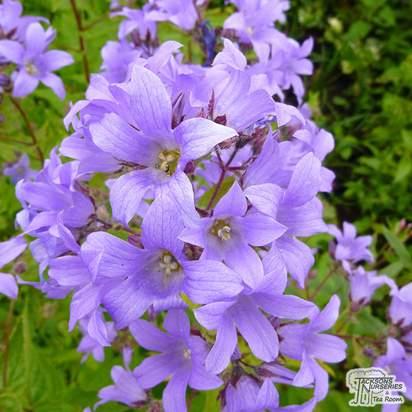 Buy Campanula lactiflora Pritchards Variety (Milky Bellflower) online from Jacksons Nurseries