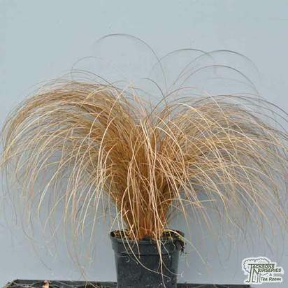 Buy Carex buchananii online from Jacksons Nurseries