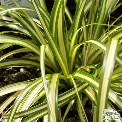 Buy Carex oshimensis Evergold online from Jacksons Nurseries