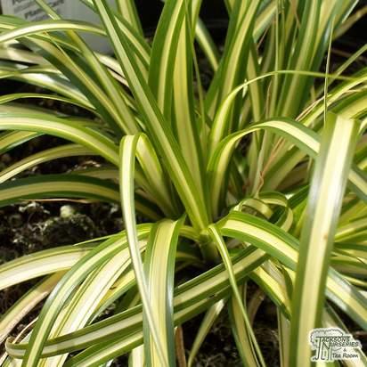 Buy Carex oshimensis Evergold online from Jacksons Nurseries
