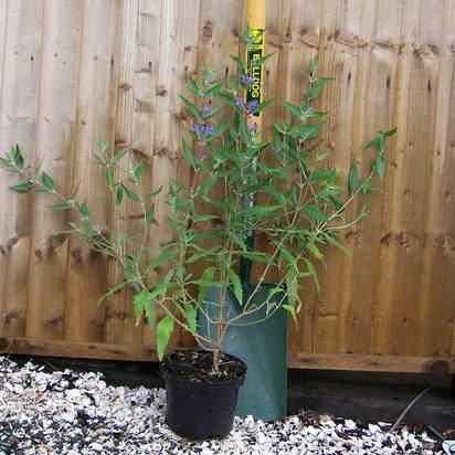 Buy Caryopteris x clandonensis Heavenly Blue (Bluebeard Lilac) online from Jacksons Nurseries