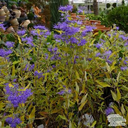 Buy Caryopteris x clandonensis Worcester Gold (Bluebeard 'Worcester Gold') online from Jacksons Nurseries