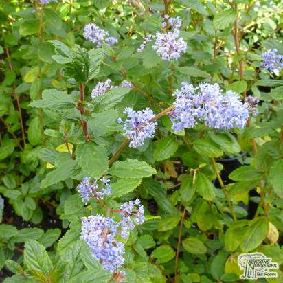 Buy Ceanothus Autumnal Blue online from Jacksons Nurseries