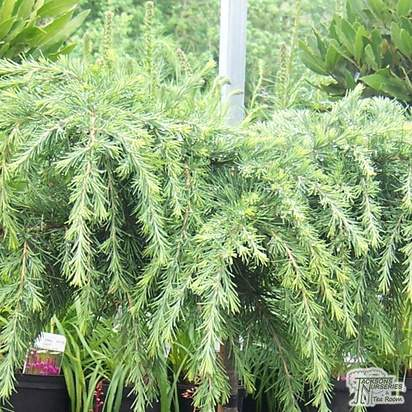 Buy Cedrus deodara Feelin' Blue online from Jacksons Nurseries